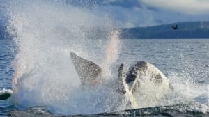 B.C. scientists 'horrified' as they watch 1st documented killer whale infanticide