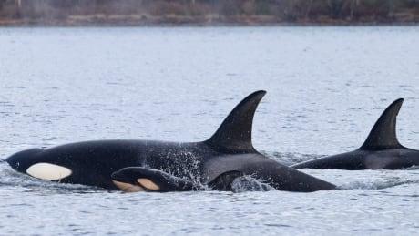 Transient killer whale infanticide
