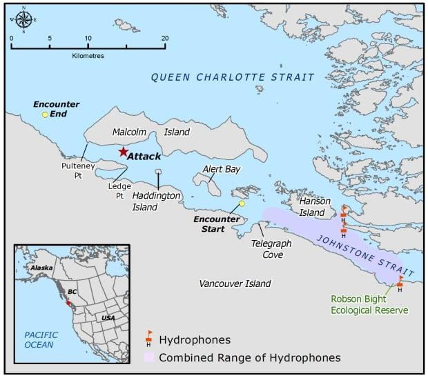 Transient killer whale infanticide map