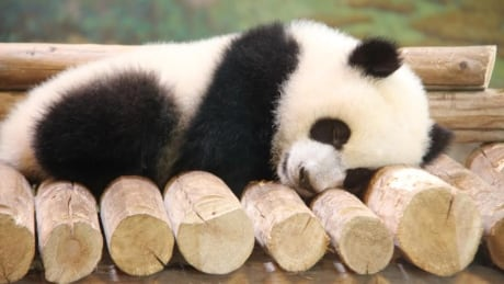 Beloved pandas depart Toronto for Calgary after 5 year stay thumbnail