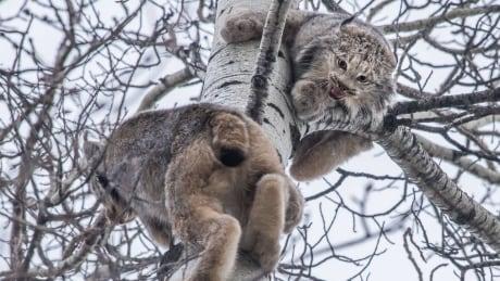 Lynx by Amos Wiebe