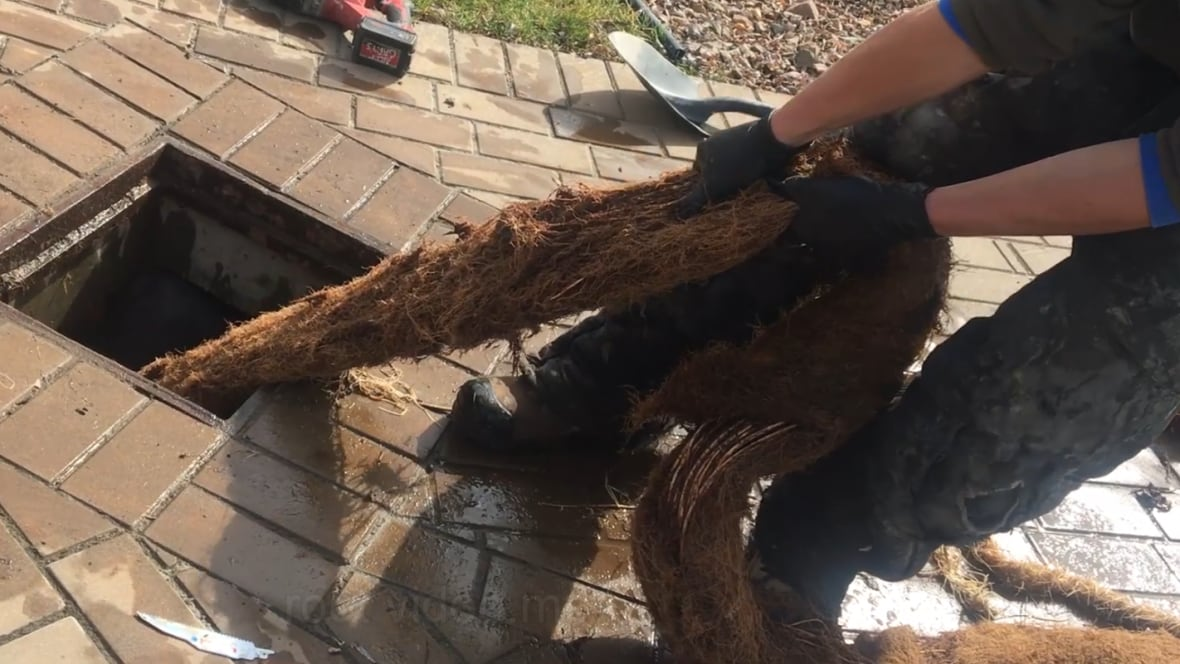 12 Metre Tree Root Pulled From B C Storm Drain British