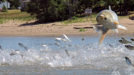 Canada says no to Asian carp as lobster bait