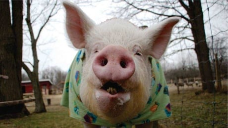 Esther the Wonder Pig diagnosed with cancer