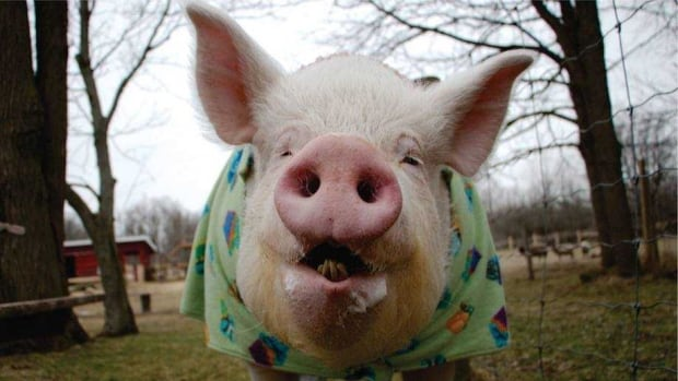 Esther the Wonder Pig diagnosed with cancer | CBC News