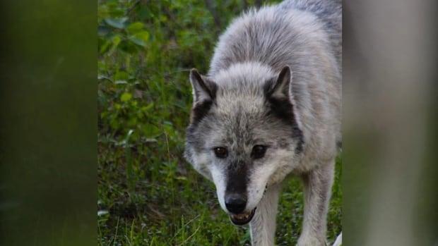 Jasper's highway-running lone wolf euthanized | CBC News