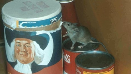 New York City house mouse