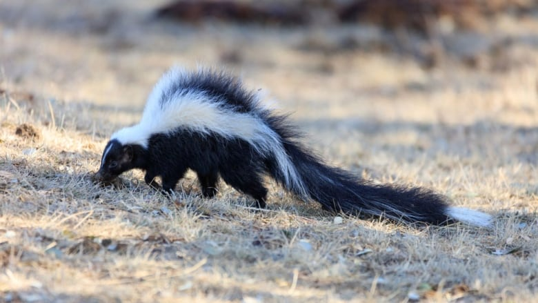 3 mutilated skunks found dead in East Vancouver neighbourhood | CBC News