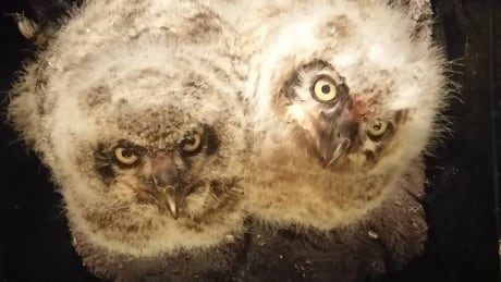 rescued owl family moved to niagara region