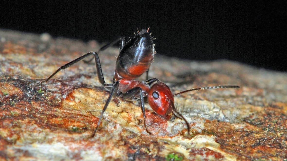 Scientists discover new species of exploding ant