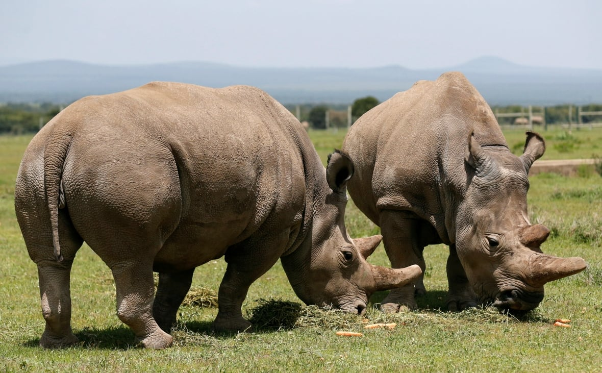 Cow may be largest mammal if humans keep up extinctions, study says