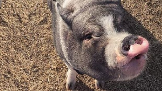 That 'weird-looking dog' at the Kilcona dog park is actually a pig