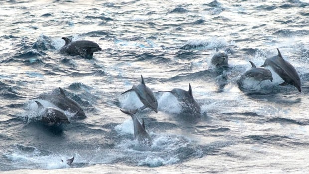 Warm-water bottlenose dolphins, false killer whales documented off B.C.'s Vancouver Island | CBC News