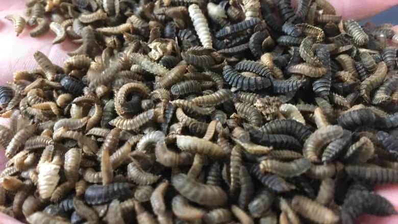 how to turn compost into food through maggots cbc news