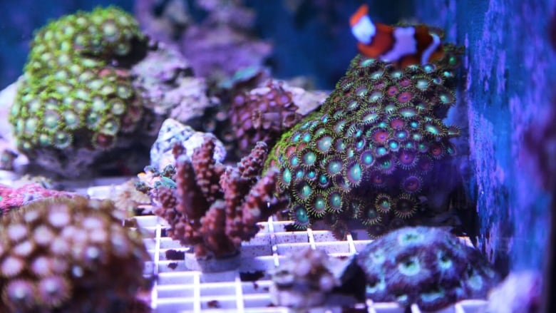 Toxic coral in home aquarium blamed for making Gatineau
