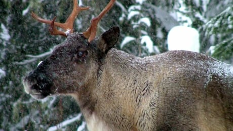 From reduced snowmobiling to continued wolf cull, wide range of options in B.C.'s caribou protection plans