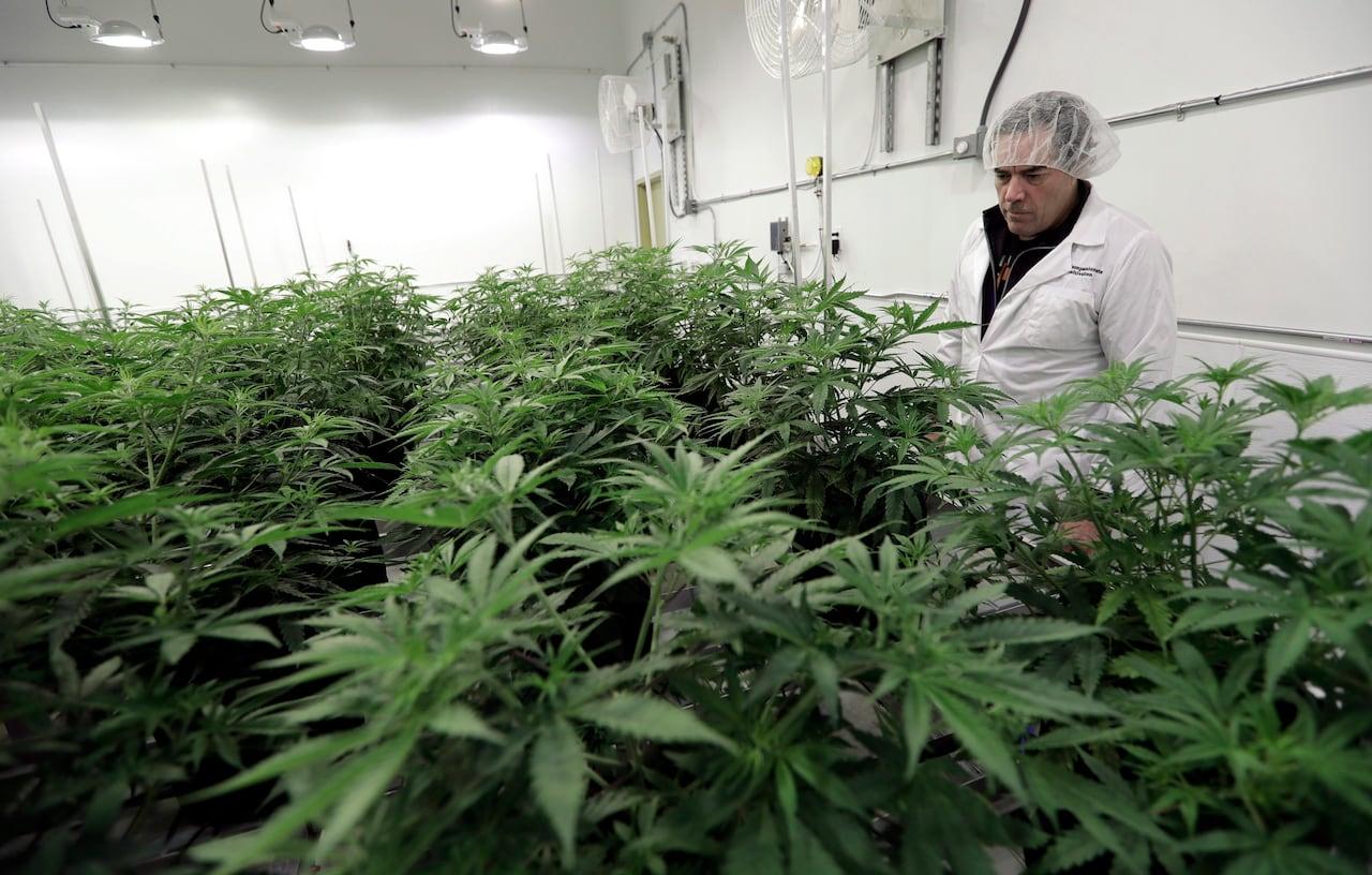 Doctors' group wants to scrap Canada's medical cannabis program