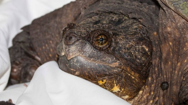 Alligator Snapping Turtle - Macrochelys temminckii ... |Snapping Turtle Injuries Humans