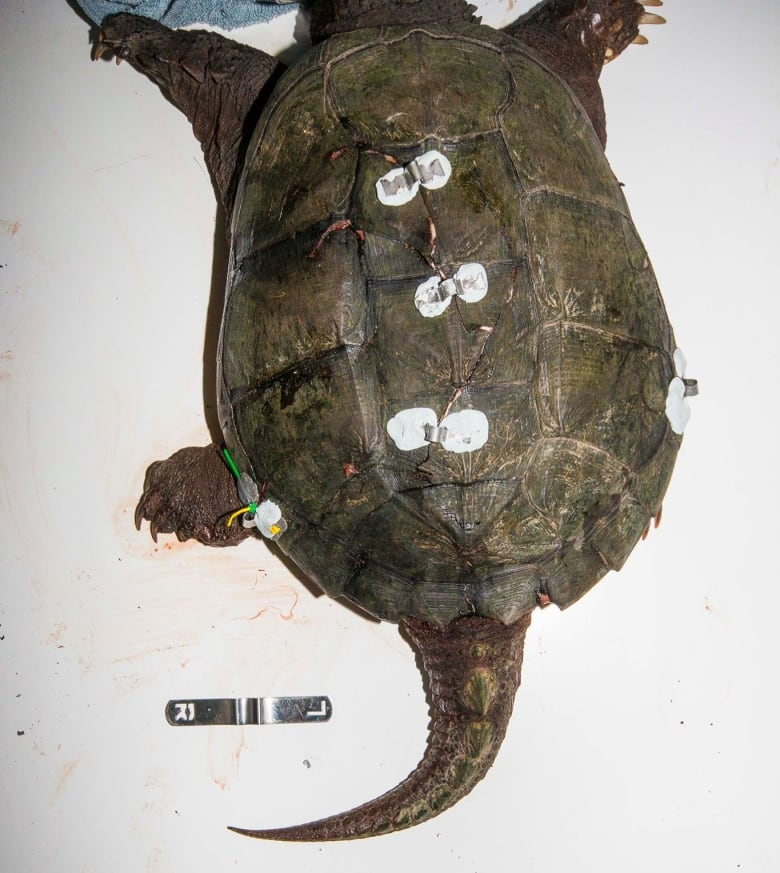 Ottawa sanctuary seeing spike in turtle injuries | CBC News |Snapping Turtle Injuries Humans