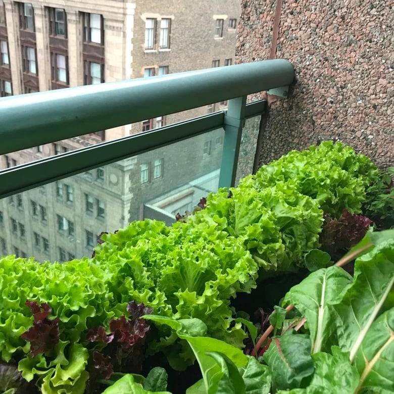 Lettuce Container Garden: How To Grow Your Own Salad At Home