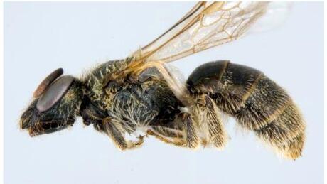 Sable Island sweat bee