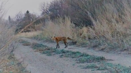 Fox finds way to freedom, after Salthaven West rescue thumbnail