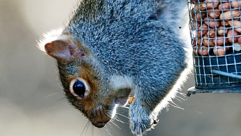 How grey squirrels fatten themselves on tons of seed at the expense ...