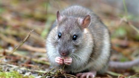 Brown Rat