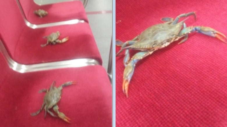 Placing live crabs on Toronto subway seats is 'shellfish,' TTC says