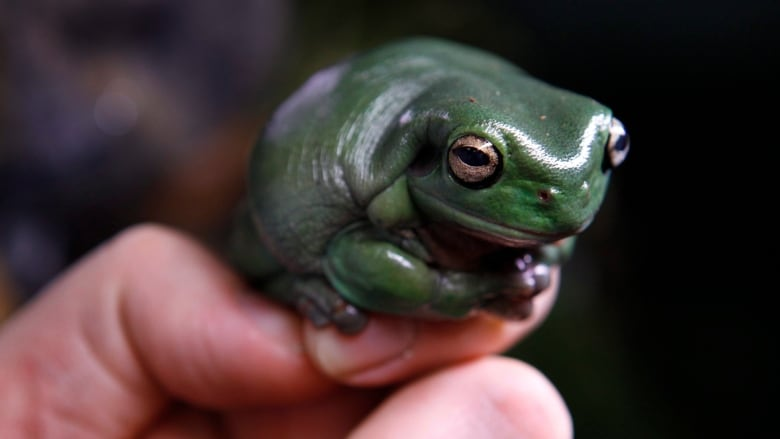 frogs are dying and korea gets the blame cbc news