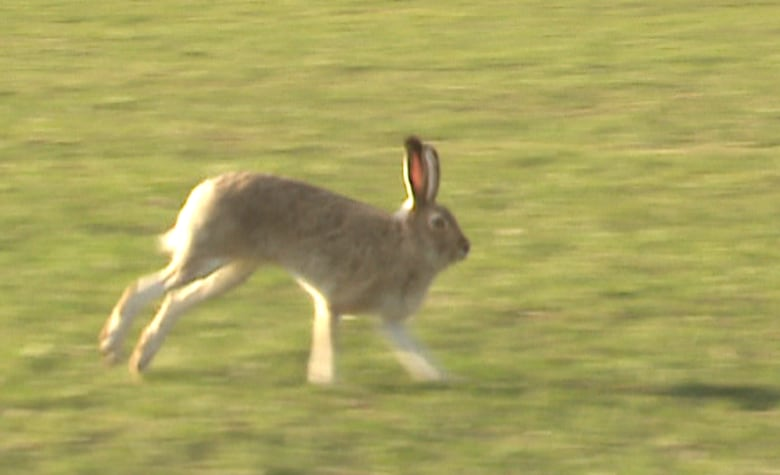 Rabbit versus hare: how to tell what you're looking at | CBC