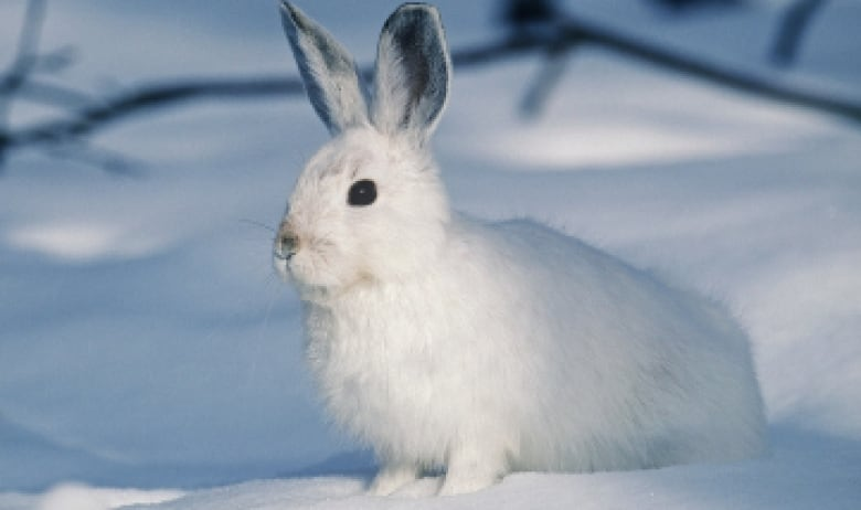 https://i.cbc.ca/1.4662127.1545085386!/fileImage/httpImage/image.jpg_gen/derivatives/original_780/snowshoe-hare-winter.jpg