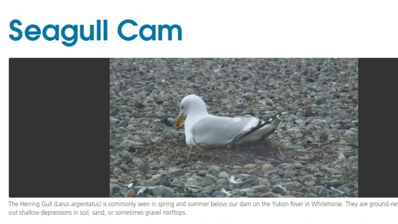 Spy on some nesting Yukon seagulls with new 'gull cam' | CBC News