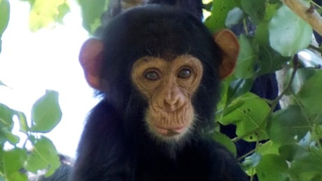 chimpanzee beds are cleaner than ours study finds