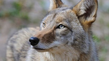 Airdrie warns public of brazen coyote after 6-year-old attacked at light festival