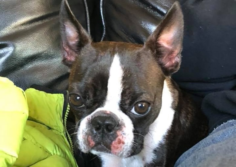 Lost Boston Terrier Mary Margaret Found After 10 Days