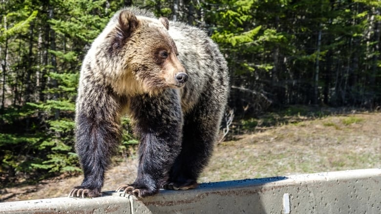 Conservation specialist calls for new wildlife crossing after grizzly hit, killed on Trans-Canada