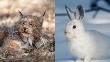 Lynx, hare