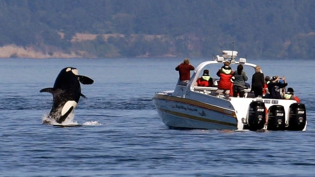 Orca Task Force Recommends 3 5 Year Commercial Whale Watching Ban