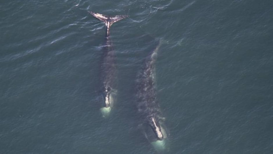 cbc.ca - Emma Davie - Only 411 North Atlantic right whales left, says new report