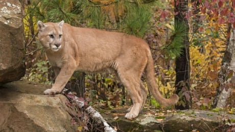 Boy, 2, attacked by cougar on wooded trail