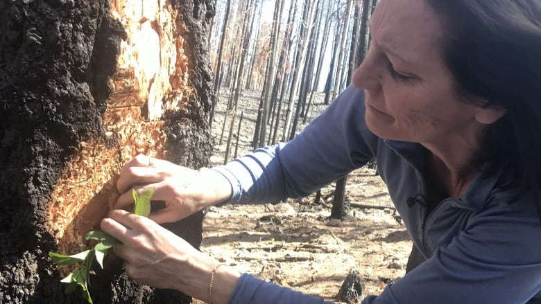 Forestry service advising property owners to apply MCH repellent as