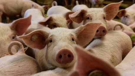 CFIA inspects after video shows pigs crammed into transport truck in B.C.