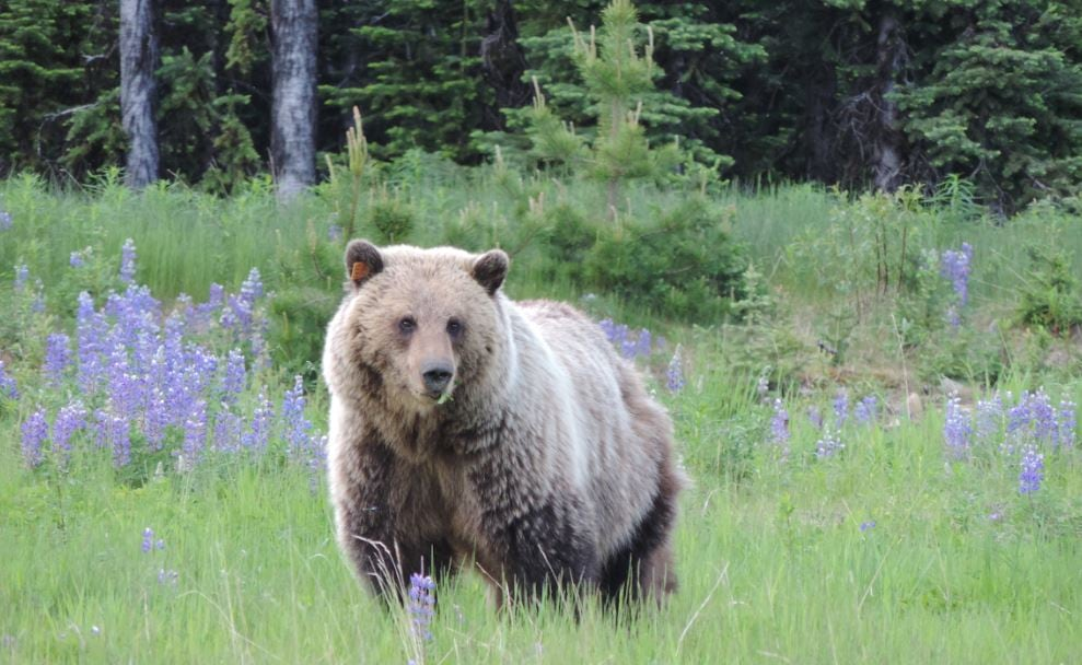 Lake Minnewanka trails, camps closed after bear stomps tent