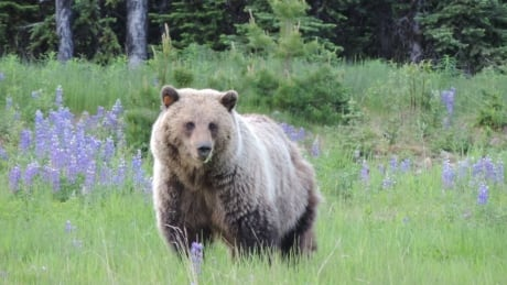 grizzly bear alberta