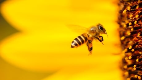 Honey bee approaching a flower