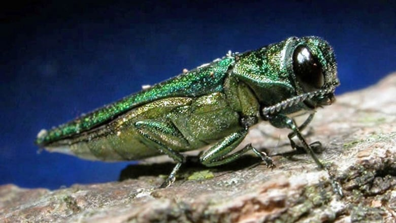 Early insecticide treatment best way to save ash trees from beetle, expert says