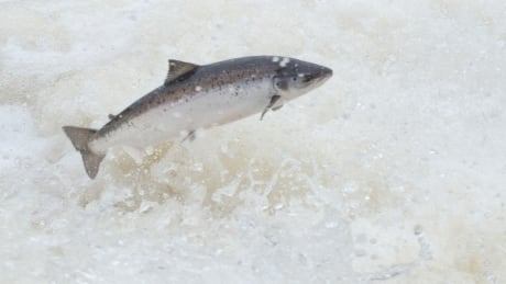 New proof that fish farm escapees interbreed with wild salmon: DFO