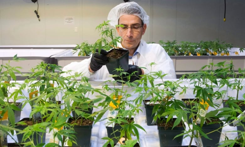 aurora cannabis 20171124 - Major Canadian pot companies facing proposed class-action lawsuits in the U.S.