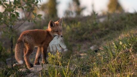 Fox pup in Copper Ridge, Whitehorse, Yukon